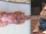 Dog Flea Allergy